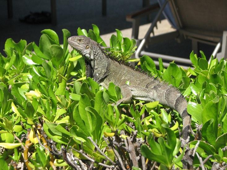 Aruba wildlife - iguana