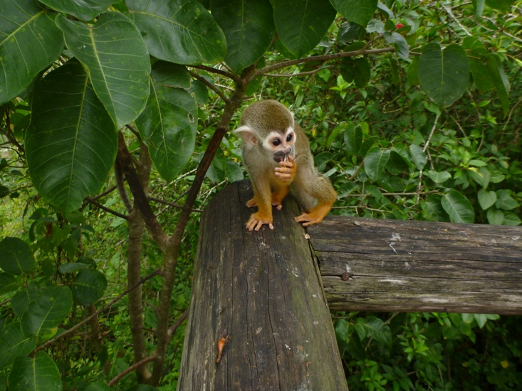 Squirrel monkey at Monkeyland Punta Cana